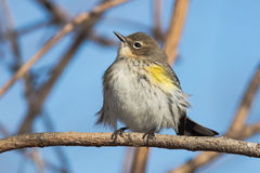 Yellow-rumped Warbler Stock Photos