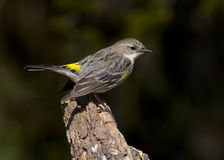 Yellow-rumped warbler perching Royalty Free Stock Photography