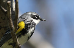 Yellow-rumped Warbler Portrait Stock Photos