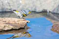 Yellow-rumped Warbler with reflection Stock Image