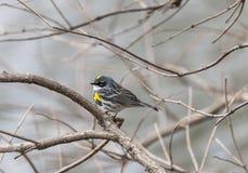 Yellow-rumped warbler (Setophaga coronata) Royalty Free Stock Photo
