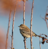 Yellow Rumped Warbler Royalty Free Stock Photo