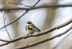 Yellow-rumped warbler (Setophaga coronata) Royalty Free Stock Photography