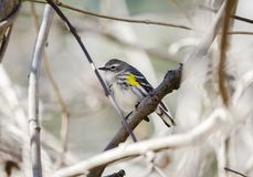 Yellow Rumped Warbler bird perched, Georgia USA. Yellow-rumped Warbler, Setophaga coronata, songbird perched in tree. Common winter migrant in the southeast stock photography