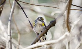 Yellow Rumped Warbler song bird, Monroe, Georgia, USA. Yellow-rumped Warbler, Setophaga coronata, songbird perched in tree. Common winter migrant in the Royalty Free Stock Photography