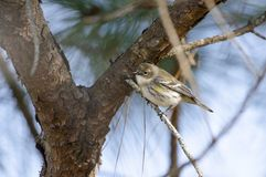 Yellow-rumped Warbler songbird, Athens, Georgia USA Stock Image