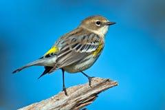 Yellow-rumped Warbler Stock Photos