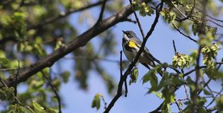 Yellow-rumped Warbler in the tree Royalty Free Stock Photo