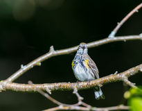 Yellow Rumped warbler. Stock Images