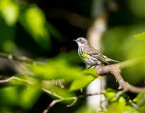 Yellow Rumped warbler. Royalty Free Stock Photography