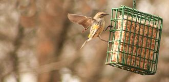 Free Yellow Rumped Warbler Wings Out Royalty Free Stock Images - 135074739
