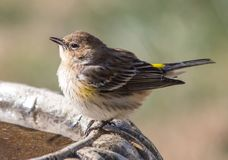 Yellow Rumped Warbler. A Yellow Rumped Warbler perched on a bird bath Royalty Free Stock Image