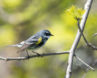 Yellow-rumped Warbler Stock Images