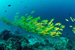 Yellow runner school fish in Malaysia Royalty Free Stock Images