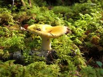 Yellow russula in the forest close up Stock Photography