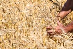 Yellow rye field Stock Photography