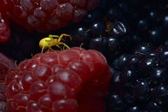 Free Yellow Sac Black Footed Spider Covered In Berry Juice On A Raspberry Royalty Free Stock Image - 198595566