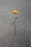 Yellow sad rose Royalty Free Stock Image