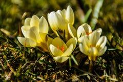 Yellow saffron Royalty Free Stock Photo