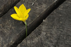 Yellow Saffron Stock Photography