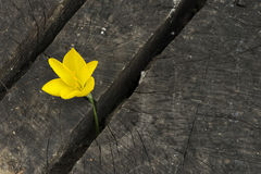 Yellow Saffron Royalty Free Stock Images