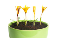 Yellow saffrones. Yellow flowers saffron (crocus sativus) with green leaves in the flowerpot isolated on white royalty free stock images
