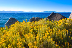Yellow Sagebrush flowers by the Lake Tahoe. In summer Lake Tahoe is full of yellow color of Sagebrush Royalty Free Stock Photos