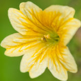 Yellow Salpiglossis Stock Image