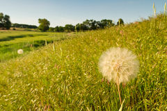 Yellow salsify, Kansas pasture Royalty Free Stock Images