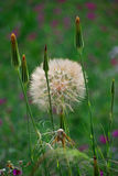 Large Salsify seedhead. Sedella, Spain. A yellow Salsify (Tragopogon dubius)  with large globed seedhead, almost ready to scatter its seeds Royalty Free Stock Photography