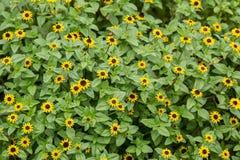 Yellow Sanvitalia procumbens Stock Photos