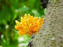 yellow saraca royalty free stock image