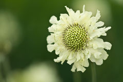 Yellow scabious Stock Image