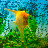 Yellow scalare (Pterophyllum scalare) Stock Image