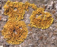 Yellow Scale Lichen. Lichen on a rock royalty free stock images