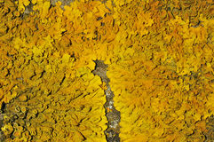 Yellow Scales Lichen Stock Image
