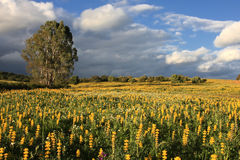 Yellow scenery. Spring time landscape; field with yellow flowers on the ground Stock Images