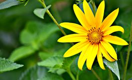 Yellow, Schweinitz's Sunflower, rare, non-pollinating royalty free stock photography