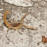 Yellow scorpion, Buthus occitanus. Mediterranean scorpion on the floor Stock Photos