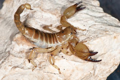 Yellow scorpion on stone Stock Images