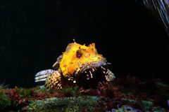 Yellow scorpionfish on a black background Royalty Free Stock Photos
