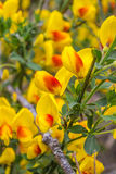 Yellow Scotch Broom. Invasive species of plant in the pacific northwest of the United States called scotch broom. Rare yellow color Stock Photos