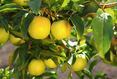 Yellow scythian gold apples on apple tree branch. Royalty Free Stock Images