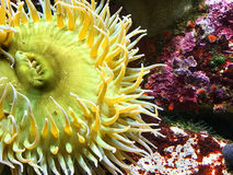 Yellow Sea Anemone Royalty Free Stock Photography