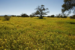 Yellow sea of blossoms in Namib-Naukluft National Stock Images