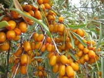 Yellow sea-buckthorn berries Stock Photography