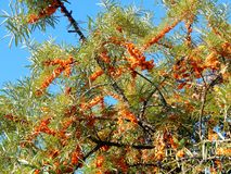 Yellow sea-buckthorn berries on the branches of a tree Royalty Free Stock Images