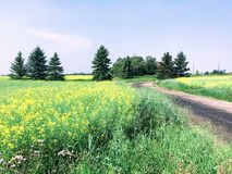 A yellow sea of canola fields in Edmonton, Alberta, Canada. Beautiful to drive through stock photography