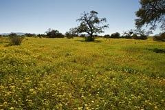 Yellow Sea de flores en el nacional de Namib-Naukluft Imagenes de archivo