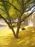 Yellow Sea del polen de Palo Verde Imágenes de archivo libres de regalías